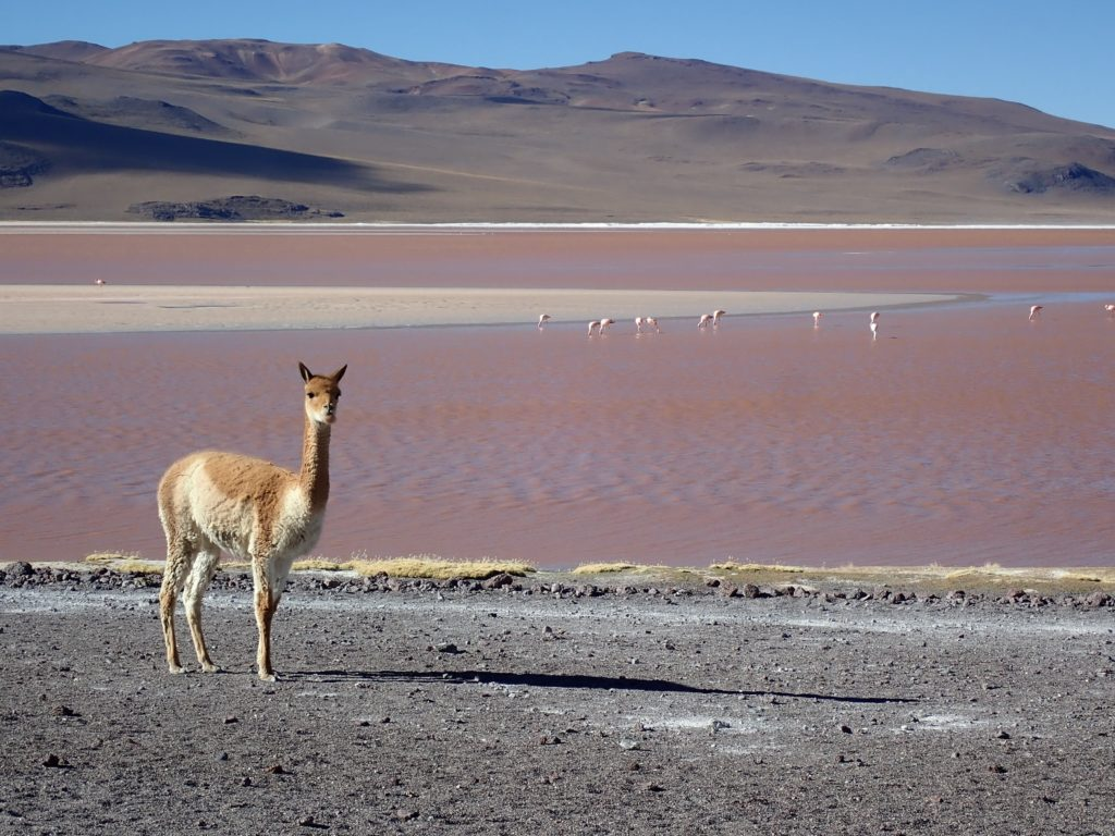 vigogne laguna colorada