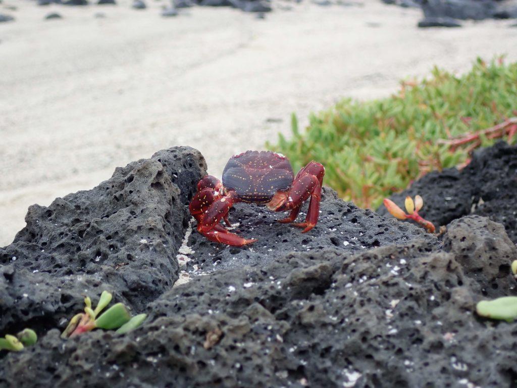 crab galapagos