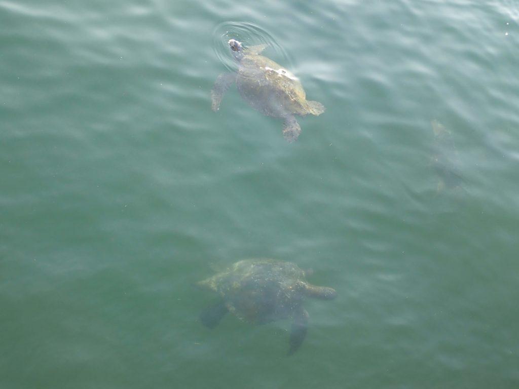 Mancora tartarughe
