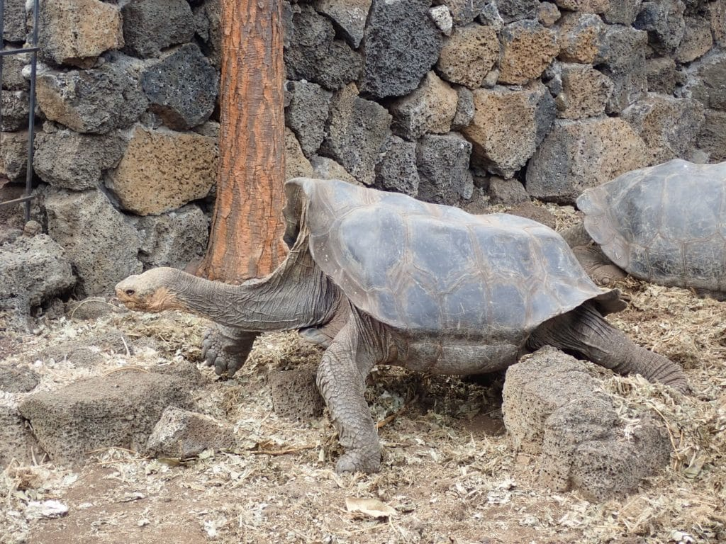 saddle-shape turtle