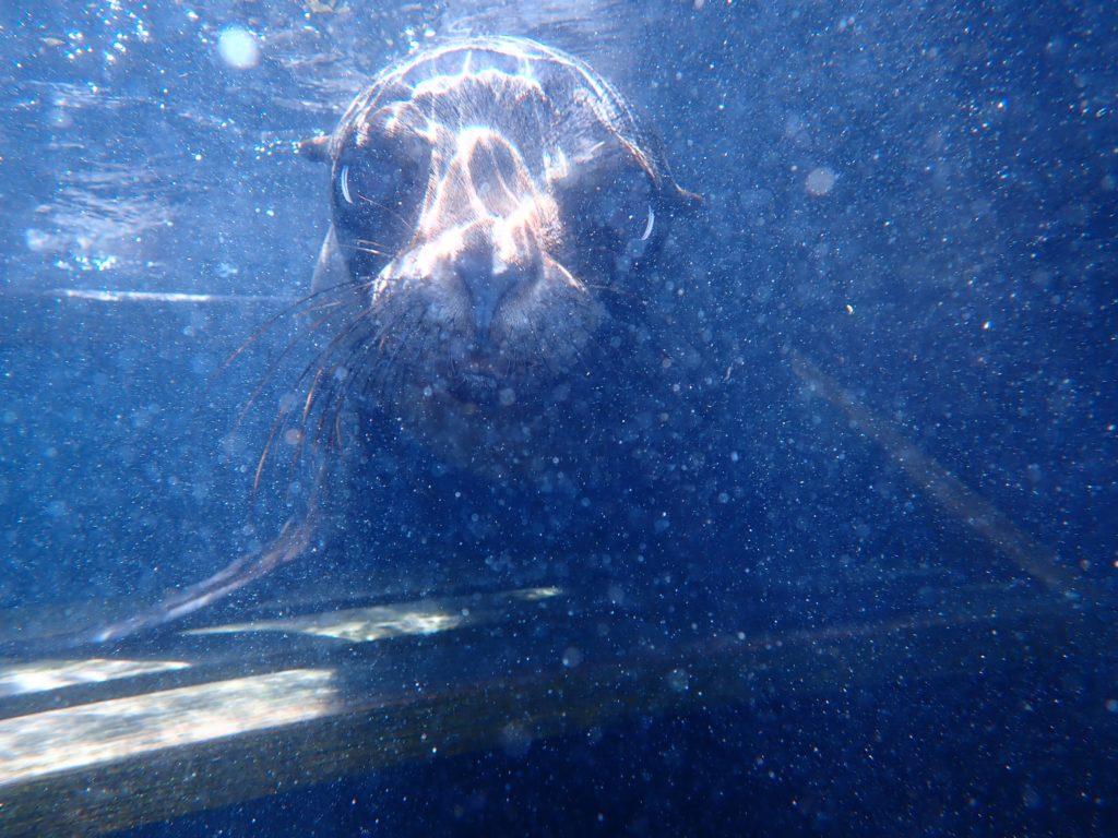 cucciolo leone marino