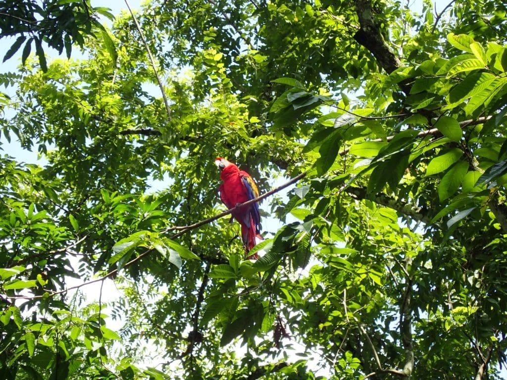 Macaw copan