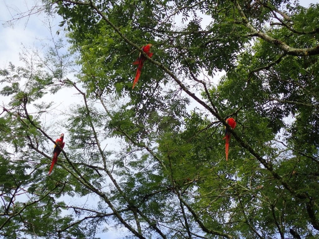 several macaws